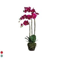 orchidée phalea avec terre et mousse H82 D41
