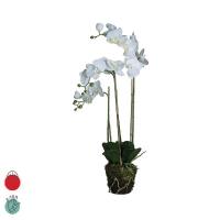 orchidée Phalea avec terre et mousse H72 blanc