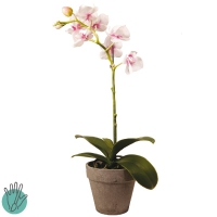orchidée Dendobrium H33 blanc / rose